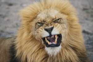 Close Up Portrait Of Angry Lion At National Park - Confirma Canal Empreendedor